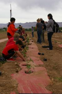 Students planting tomatoes in field.