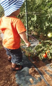 toddler picking tomatoes from plant
